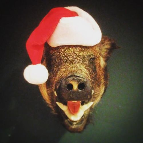 I'm late, but I hope all you Hams had a very Merry Christmas! MerryChristmas Christmaseve2015 Christmasdecorations Christmastidings Boar Boarhead Wildboar Taxadermy Taxadermyboar Santahat Pig Wildpig