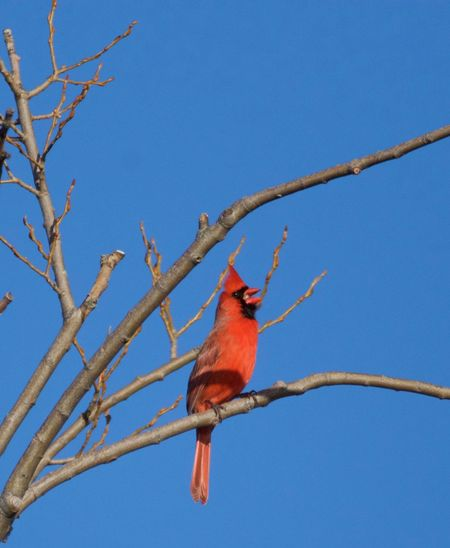 Low angle view of cardinal perching on bare tree against blue sky