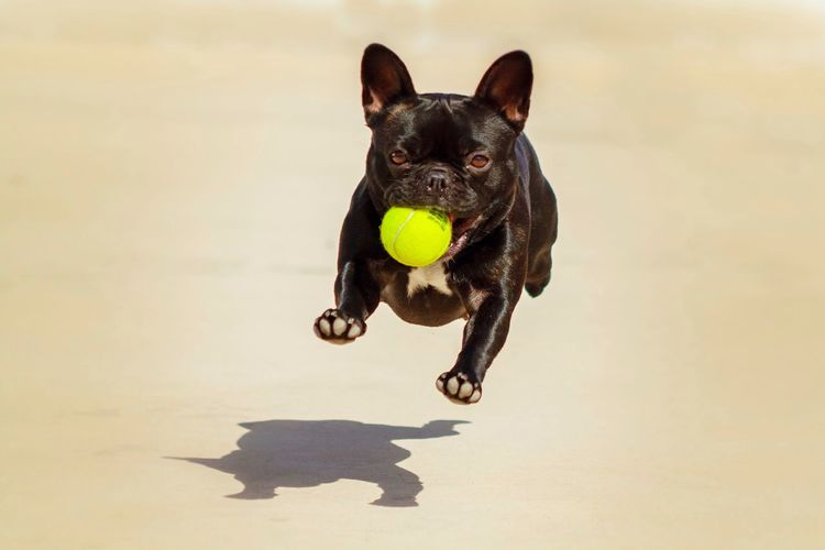 Portrait Of French Bulldog Running With Tennis Ball On Field During Sunny Day