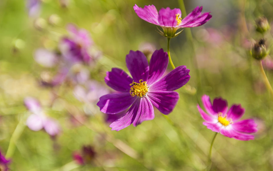 Garden flowers Cosmos Flower Field Growth Nature Summertime Abstract Beauty In Nature Close-up Day Flower Head Flowering Plant Growth Macro Nature No People Outdoors Petal Pink Color Pollen Purple Springtime Ultraviolet