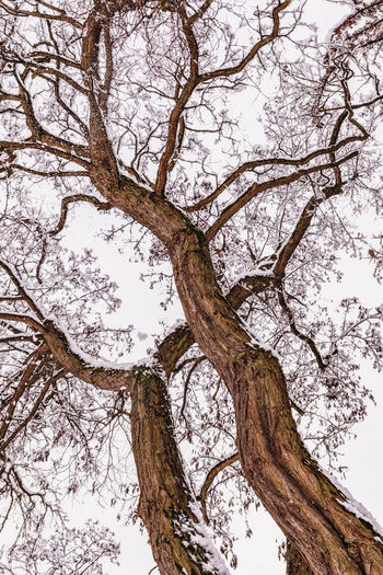 Tree Plant Low Angle View Branch Tree Trunk Trunk Sky No People Tranquility Nature Bare Tree Winter Beauty In Nature Day Cold Temperature Growth Snow Scenics - Nature Outdoors Tree Canopy