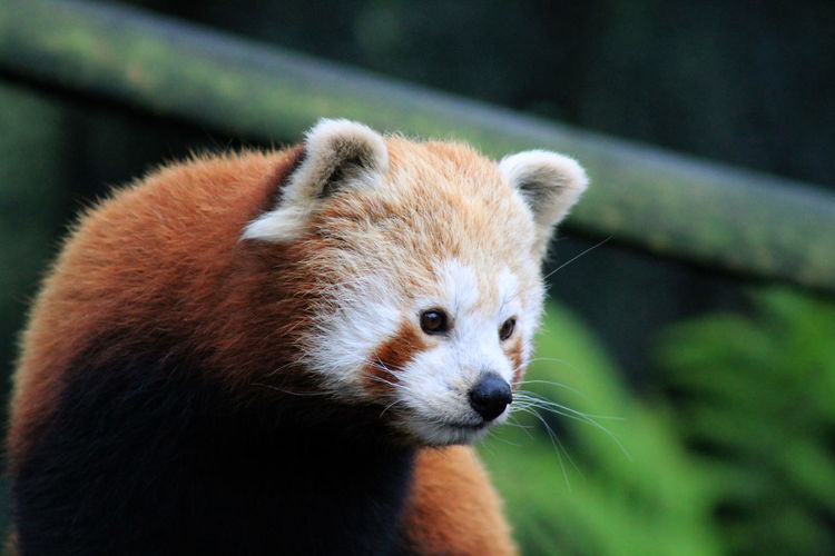 Close-up of red panda looking away