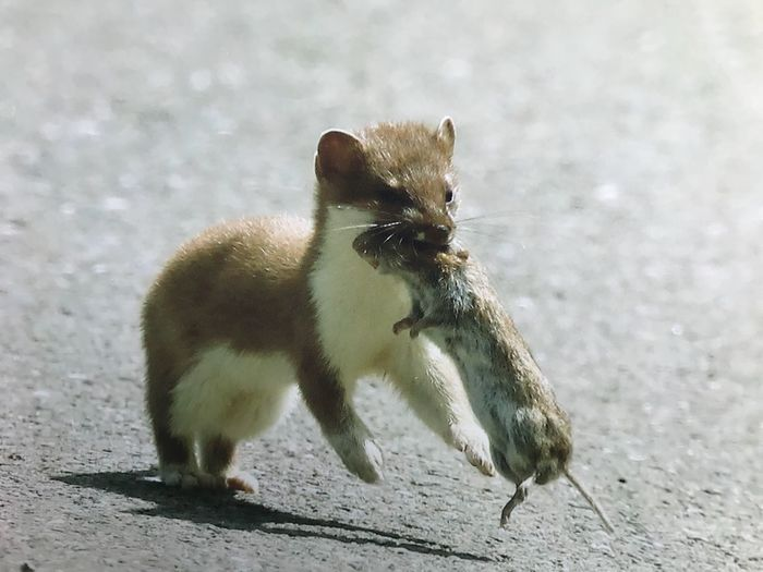 Stoat with a Vole for lunch Vole Stoat Animal Themes Animal Animals In The Wild Animal Wildlife One Animal Nature No People