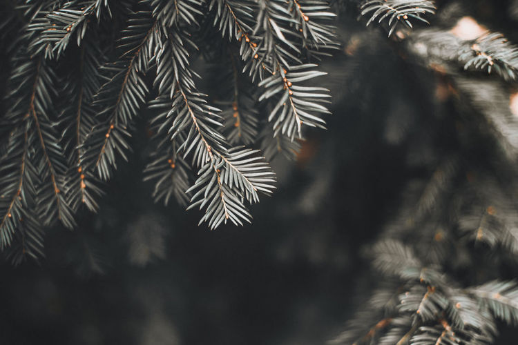 Closeup of pine branches and blurred background