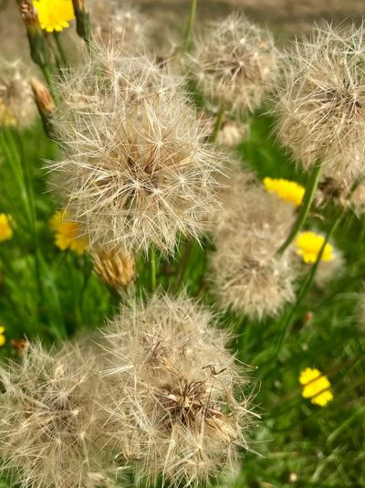 Fragility Plant Beauty In Nature Flower Vulnerability  Close-up Dandelion