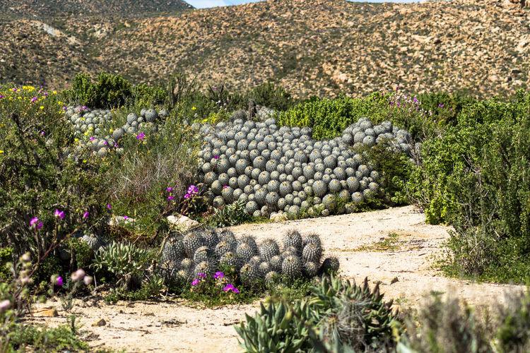 Chile Chile♥ Abundance Chilepaisajes Cisnecoscoroba Desiertoflorido2017 Flower Nature No People Outdoors Plant
