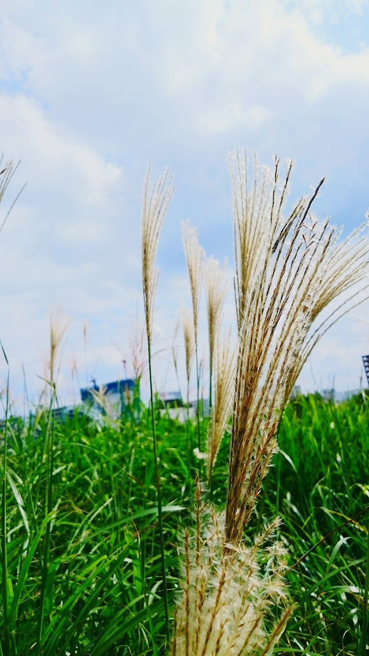 growth, nature, field, grass, plant, crop, agriculture, day, beauty in nature, no people, tranquility, green color, outdoors, cereal plant, rural scene, tranquil scene, wheat, sky, close-up, ear of wheat, scenics, freshness