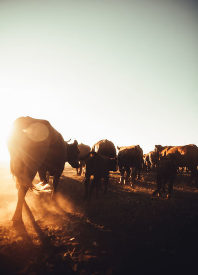 Cows walking on field against sky during sunset