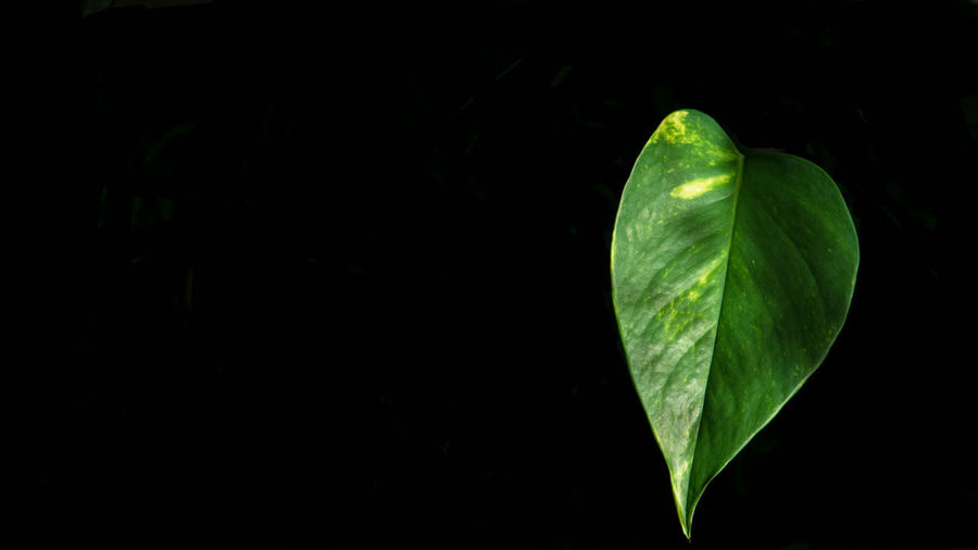 Leaf Plant Part Green Color Copy Space Close-up No People Plant Nature Beauty In Nature Growth Freshness Studio Shot Night Black Background Outdoors Tranquility Vulnerability  Fragility Focus On Foreground Leaves