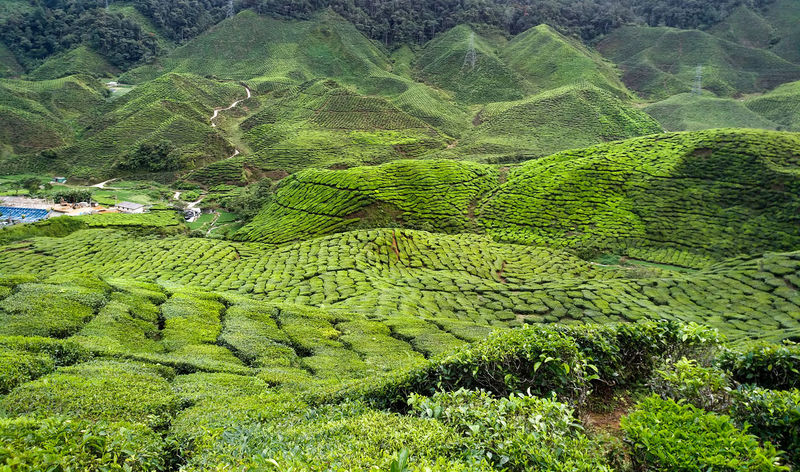 Agriculture Beauty In Nature Crop  Environment Farm Field Foliage Green Color Growth Land Landscape Mountain Nature No People Outdoors Plant Plantation Rural Scene Scenics - Nature Tea Crop Tranquil Scene Tranquility Tree