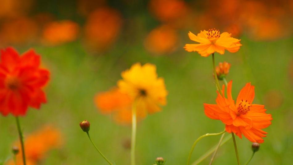 キバナコスモス Yellow Flower Sicor StreamzooFlowers Colorful #oldlens