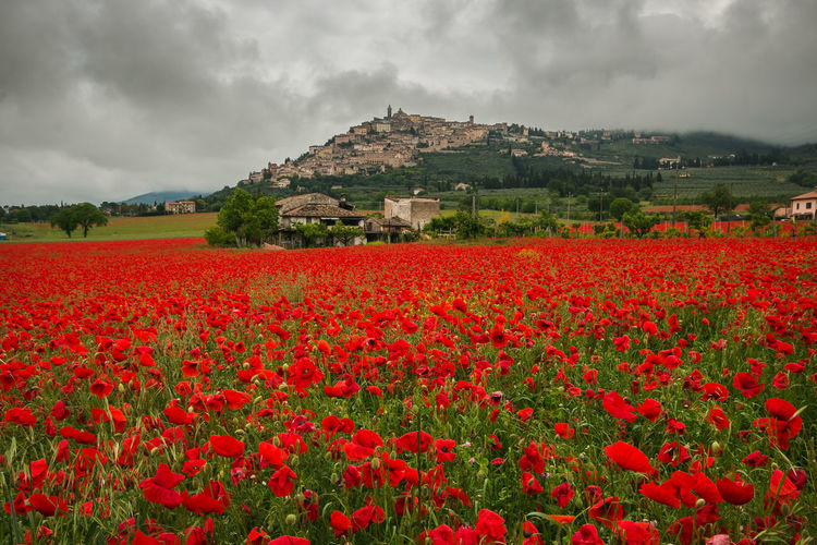 Wonderful field of red poppies in Trevi, Umbria Trevi Umbria Umbria, Italy Umbrian Landscape Red Poppy Poppies  Poppy Flowers Poppy Idyllic Nature Spring Italy Europe Village Medieval Architecture Olive Tree Springtime Amazing Red Meadow Meadow Flowers Flora Farm Farmland Flower Flowering Plant Beauty In Nature Cloud - Sky Plant Sky Growth Freshness Vulnerability  Landscape Land Fragility Field Environment Tranquil Scene Day No People Scenics - Nature Outdoors Flower Head Flowerbed