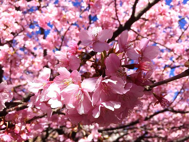 河津桜 桜 Cherryblossom Sakura Flower Beauty In Nature Pink Color Japan Enjoying Life