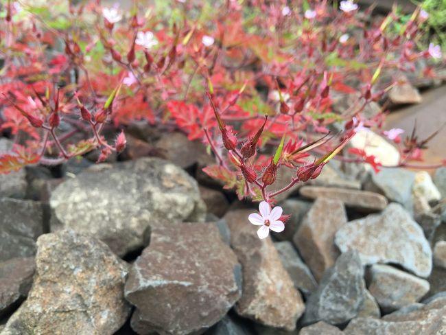 Train Tracks Flower Wilde Stone Stones Summer Flower Collection Pink