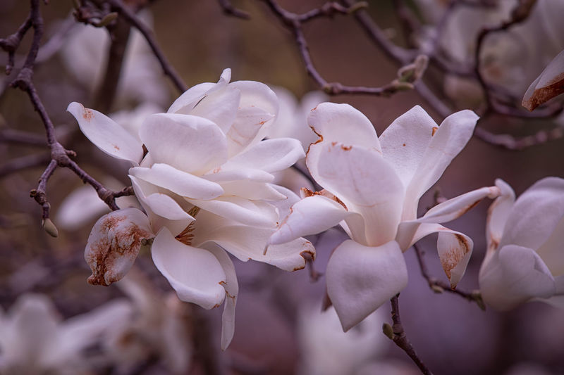 Blooming magnolia tree Magnolia Tree Flowering Plant Flower Plant Vulnerability  Fragility Beauty In Nature Petal Growth Close-up Freshness Inflorescence Flower Head White Color Branch Focus On Foreground Nature Day No People Selective Focus Springtime Outdoors Pollen Spring