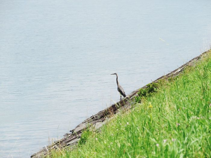 High angle view of gray heron perching on grass by lake