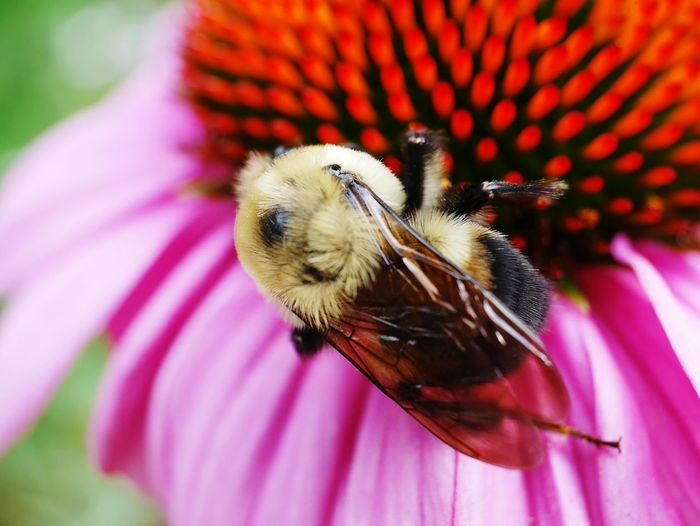 Bumblebee on Echinacea. Echinacea Natural Pattern Working Nature Photography Pollinators Nature_collection Macroflower Flower Photography Macroflowerphotography Macroflowers Pollinating Flower Head Blooming Pollination Flowerporn Macroinsect Macro Colorful Bumblebee Bumble Bee Collecting Pollen