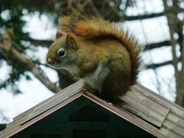 One Animal Animal Themes No People Squirrel Animals In The Wild Nature Day Outdoors Close-up Mammal Red Squirrel Garden Backyard Photography Backyard Friends