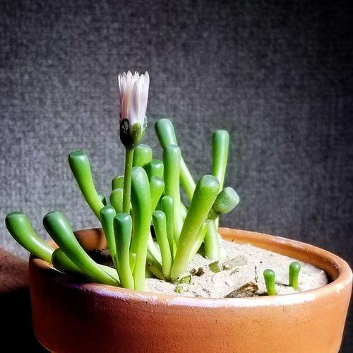 Baby Toes Green Color Indoors  Garden Plants 🌱 Green Flowers 🌸🌸🌸 Blooming SucculentsLover Suculentas