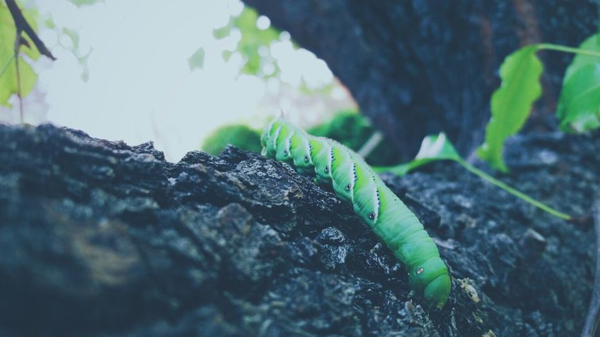 Its very rare to find Caterpillars in vegas,i fell in love with this ones colors and pattern :) Nature Beautiful Caterpillar The EyeEm Facebook Cover Challenge