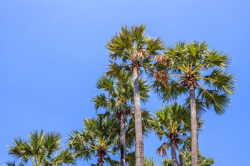 Sugar Palm Tree At Blue Sky Background. Beauty In Nature Blue Blue Sky Clear Sky EyeEm Best Shots Food From My Point Of View Fruit Growth High Section Leaf Low Angle View Nature No People Outdoors Palm Tree Photography Scenics Sugar Palm Sugar Palm Tree Tranquil Scene Tranquility Tree Tree Trunk Tropical
