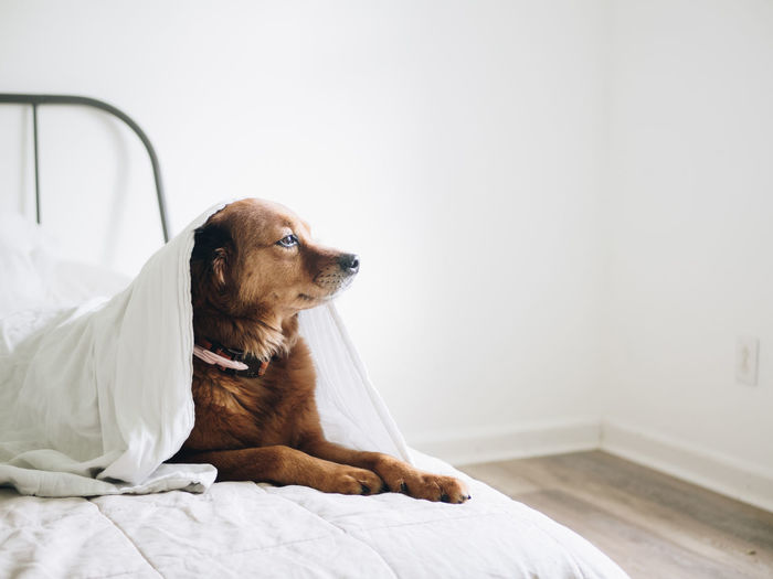 A brown dog under a blanket on a bed