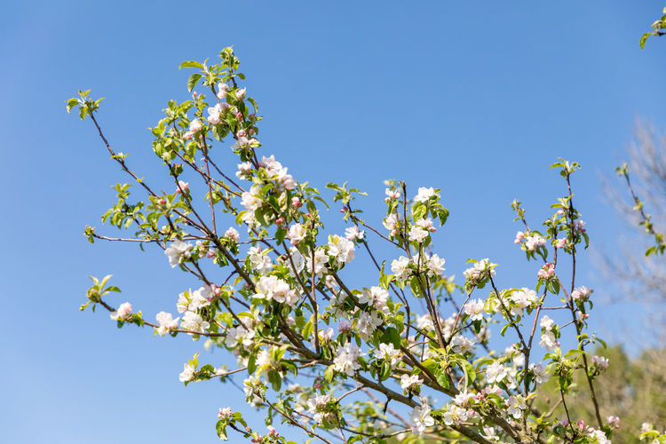 Low angle view of flowering tree against blue sky