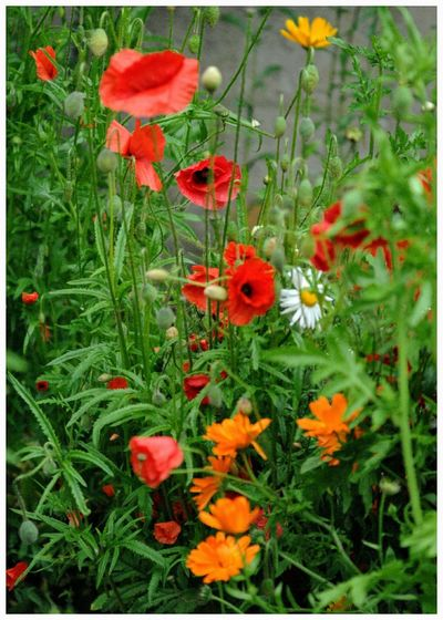 Poppies red flowers wild garden plants Growth Nature Green Color Outdoors No People Reflection Remembrance Blooming Flower Head Close-up Beauty In Nature
