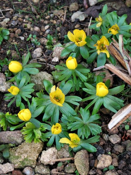 Winter aconite Beauty In Nature Blooming Eranthis Hyemalis Flower Fragility Freshness Green Color Growth Leaf Nature Outdoors Petal Plant Winter Aconite Winter Flowers Wintertime Yellow