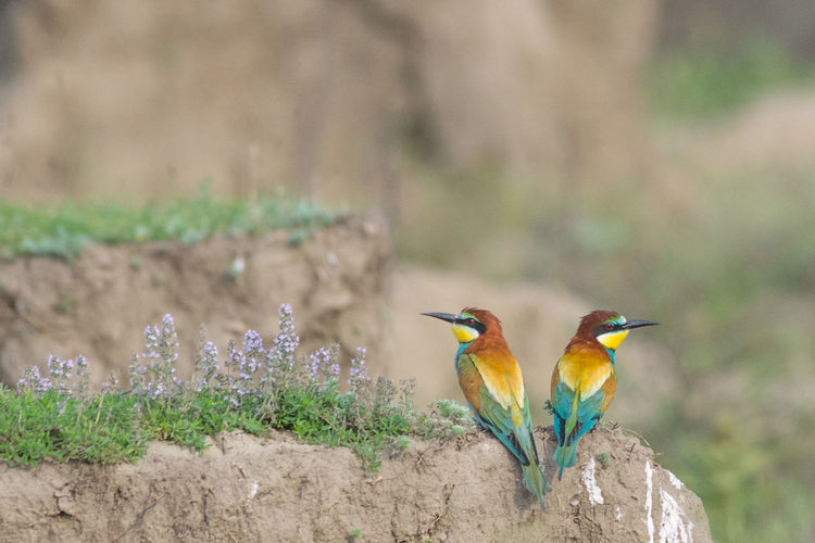 Beak Birdwatching Breeding Couple Dragonfly European  Exotic Freedom Love Mating Merops Apiaster Ritual Animal Wildlife Bee Eater Biodiversity Bird Colorful Fauna Feather  Insect Nature Ornithology  Pair Spread Wings Wildlife