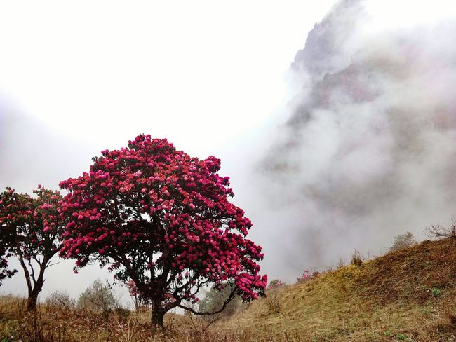 Tree Beauty In Nature Nature Tranquil Scene Solitude Mountain Pink Trees Tranquility Freshness Fragility Outdoors Landscapes Nepal Travel Seasonal EyeEm Best Shots - Nature Foggy Landscape Fine Art Abstract Nature Rhododendron Fog Cold Climate Winter White