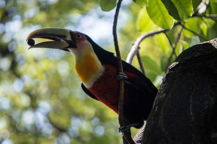 Tucan Bird Animal Wildlife One Animal Animals In The Wild Beak Tree Nature Outdoors Outdoors Animal Themes Hornbill Multi Colored Close-up Beauty In Nature Multi Colored Perching Hornbill Close-up Hornbill No People Day