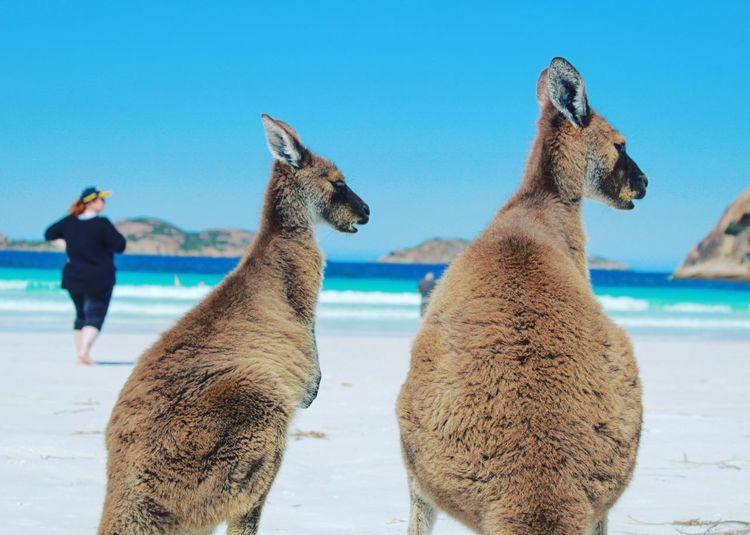 Kangaroos at beach against clear blue sky