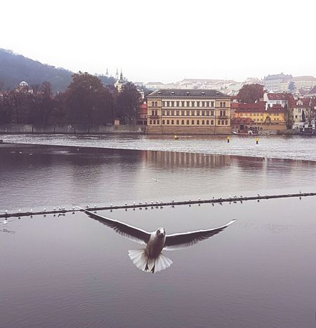 Reflection Bird Water Animals In The Wild Flying Animal Wildlife Animal Themes Nature Sky River EyeEm Best Edits Photography Beauty In Nature Prague Czech Republic City Life No People Cloud - Sky Prague Eyeem Market Prague Tower City