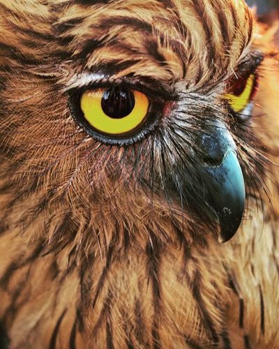 Owl 3 Burung hantu khas jawa. Gear : Olympus Pen EP1 + Multinar MC 28 mm Exif : 1/30 sec, iso 100, f/2.8 . @instanusantara Instanusantara Inub1Muharram1437 Roadto4IN Instanusantaramakassar Jelajahsulsel Visitsouthsulawesi Instapinrang Instamakassar INDONESIA Ukmfotounhas