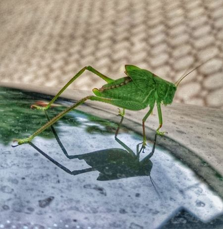 Animals In The Wild Insect Animal Wildlife No People Nature Outdoors Grasshopper Photography Grasshopper Close Up Grass