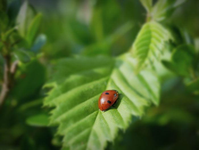Ladybug Red Leaf Insect Tiny Spotted Close-up Animal Themes Plant