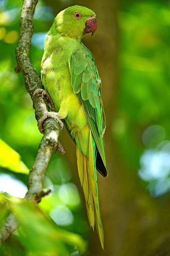 Parrot in