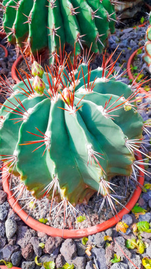 cactus with red