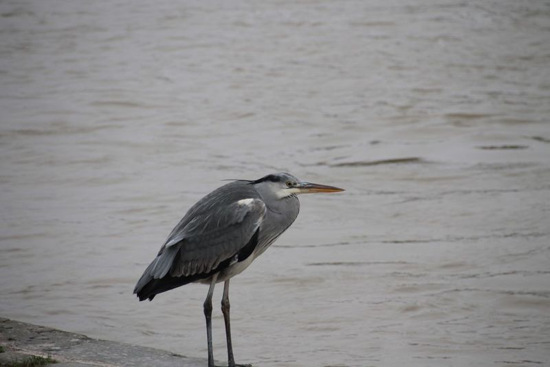 Bird One Animal Heron Animal Themes Animals In The Wild Animal Wildlife Gray Heron Nature Focus On Foreground