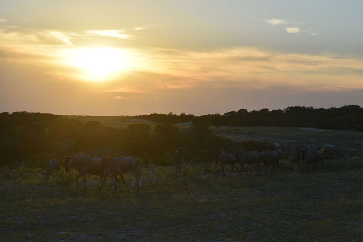 Wildebeest at Sunset Animal Themes Beauty In Nature Cow Day Domestic Animals Field Grass Grazing Horse Landscape Large Group Of Animals Livestock Mammal Nature No People Outdoors Scenics Sky Sun Sunlight Sunset Togetherness Tranquility Tree Young Animal