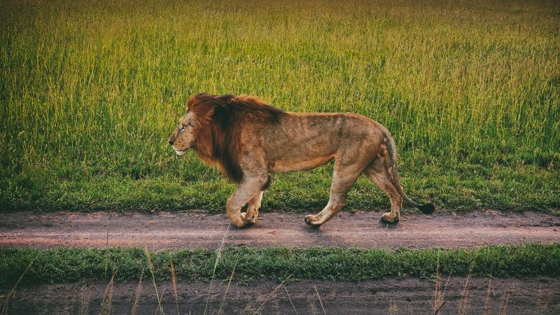 Animal Animal Head  Animal Themes Animals In The Wild Arid Climate Brown Day Domestic Animals Field Grass Lion Lion Lionking Mammal No People One Animal Relaxation Photography In Motion Togetherness Two Animals Zoology Safari Safari Animals Safari Park Safaripark
