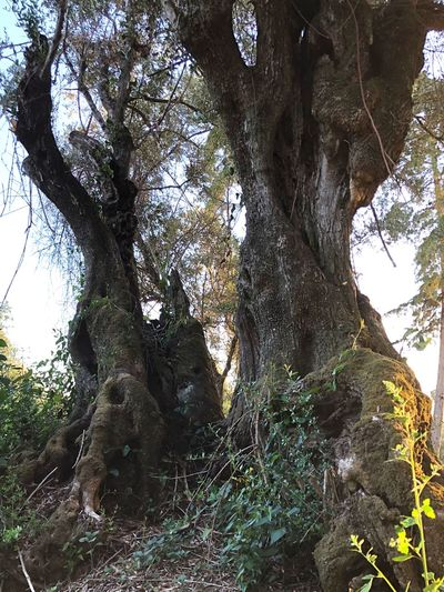 Milenar Ancient Tree Millenary Tree Millenary Millenary Olive Tree Plant Tree Growth Low Angle View No People Day Nature Beauty In Nature Trunk Millenary Tree Millenary Millenary Olive Tree Plant Tree Growth Low Angle View No People Day Nature Beauty In Nature Trunk