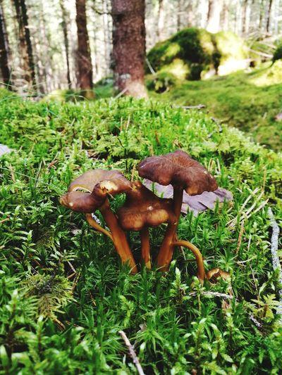 Mushroom Outdoors Kantareller Svampar