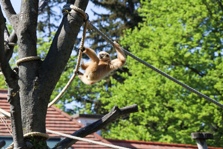 Gibbon monkey in zoo Tree Plant Animal Themes Animal Mammal Animals In The Wild Animal Wildlife One Animal Vertebrate Day Branch Low Angle View Focus On Foreground Nature No People Primate Monkey Growth Rope Outdoors Gibbon
