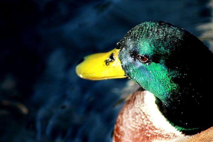 Ordek Duck Manisa  Mesirtabiatparkı Vakvak ?
