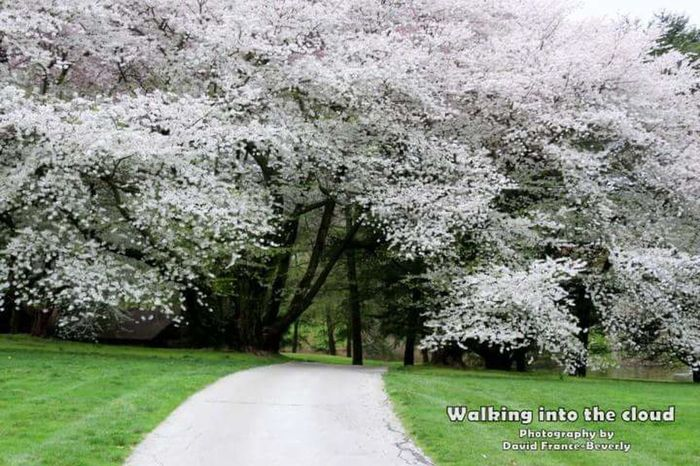 Walking into the cloud... Tree Blossoms Cherry Blossoms LongwoodGardens