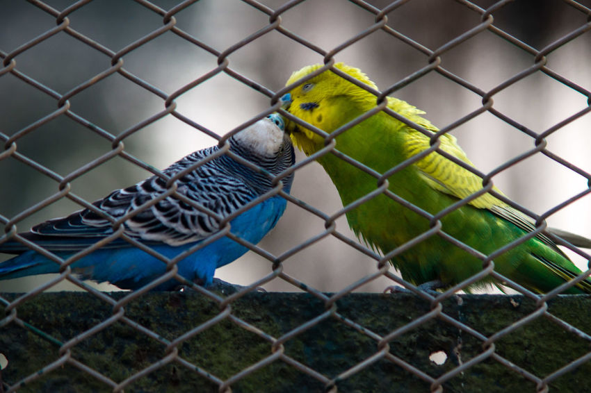 Love in Captivity Animal Themes Animals In Captivity Animals In The Wild Bird Cage Chainlink Fence Close-up Day Fence FOCAL MC 80-200 F3.5 Indoors  Nature No People Protection Vintage Lens Vintage Lens On Modern Camera Wildlife & Nature Zoo