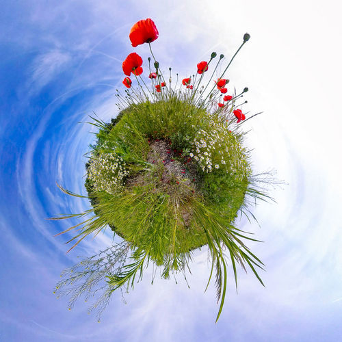 Tiny Poppy Planet 360camera Green Perspectives On Nature Beauty In Nature Blue Sky Close-up Day Flower Flower Head Fragility Freshness Growth Nature No People Outdoors Plant Poppy Poppy Flowers Sky Theta360 Tiny Planet Wild Flowers