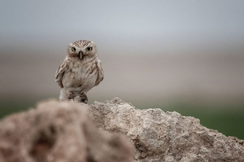 Peeping little Owl Animal Themes Animal Animal Wildlife One Animal Animals In The Wild Bird Of Prey Looking At Camera Bird Vertebrate Owl No People Nature Portrait Outdoors Rock Solid Rock - Object Focus On Foreground Perching Day